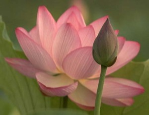 The Beauty & Strength of a Lotus